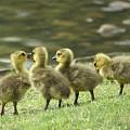 Gossiping Goslings by Bob Guthridge
