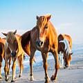 Assateague Wild Ponies by Louis Dallara