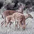 Humor Got Some Doe And Two Bucks by Betsy Knapp