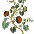 Gourd, 1735 by Granger