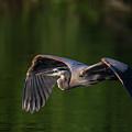 Graceful Flight by Everet Regal