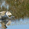 Graceful Great Egret by Carla Parris