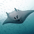 Graceful Manta by Wendy A. Capili