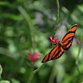 Graceful Oak Tiger Butterfly Around Pink Flowers by DejaVu Designs