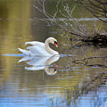Graceful Swan by Karen Jorstad
