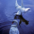 Graceful Swans by Marie Hicks