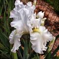 Gracie's White Iris by Ola Allen