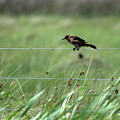 Grackle by Barb Thompson