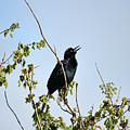 Grackle Cackle by William Tasker