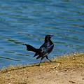 Grackle On The Move by Teresa Stallings