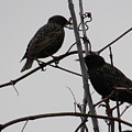 Grackles On Branches  by Jeremiah Wilson