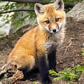Precious Fox Kit by John Vose