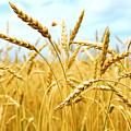 Grain Field by Elena Elisseeva
