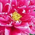 Gram's Peony by JAMART Photography