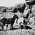 Grand Canyon: Donkeys by Granger