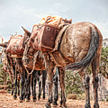 Grand Canyon Pack Mules by Sissy Schneiderman