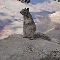 Grand Canyon Squirrel by Tong Steinle