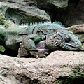 Grand Cayman Blue Iguana by Angelina Vick