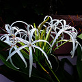 Grand Crinum Lily by Nick Photography