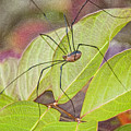 Grandaddy Long Legs by Terry Anderson