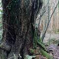 Grandfather Tree. by Phil Panton