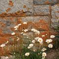 Granite Daisies by Doug Mills