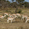 Grants Gazelles by Chris Scroggins