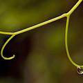Grape Drop by Daniel G Walczyk