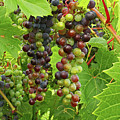 Grape Harvest by Ira Marcus