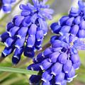 Grape Hyacinth Closeup by Carol Groenen