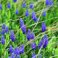 Grape Hyacinth by Marilyn Hunt
