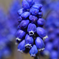 Grape Hyacinth - Muscari by Donna Kennedy