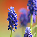 Grape Hyacinth by Sharon Talson
