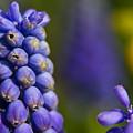 Grape Hyacinth by Sven Brogren