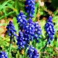 Grape Hyacinths  by David Lane