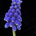 Grape Hyancinth 2977 by Michael Peychich