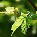 Grape Leaves In Spring by Francesa Miller
