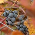 Grape Vine Closeup by Jeff White
