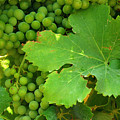 Grape Vine Heavy With Green Grapes by Anne Keiser