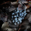 grape vine I by Jon Daly