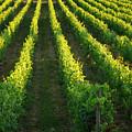 Grape Vines by Kevin Oke