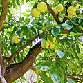 Grapefruit Tree At Pilgrim Place In Claremont-california   by Ruth Hager