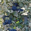 Grape's At Harvest Time by Alice Eckmann