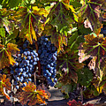 Grapes Of The Napa Valley by Garry Gay
