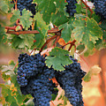Grapes Of Tuscany by Dallas Clites