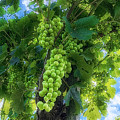 Grapes On A Vine by Wolfgang Stocker