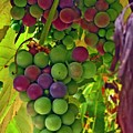 Grapes On The Vine by Chris Anderson