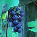 Grapes by Zofia Williams