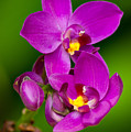 Grapette Ground Orchid by Duane Lipham
