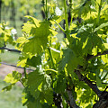 Grapevine In Early Spring by JG Thompson